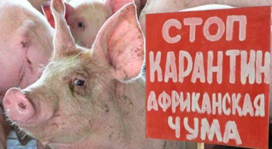 В Тамбовской области из-за африканской чумы уничтожат часть поголовья свиней